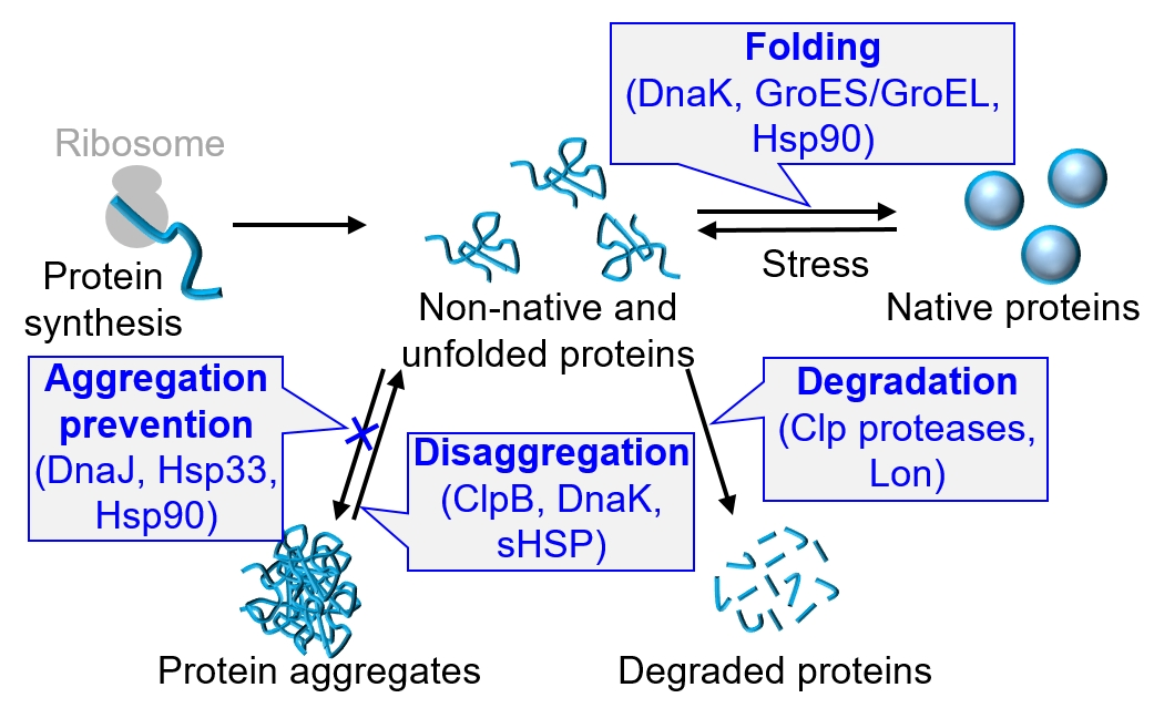Chaperone proteins control proteostasis