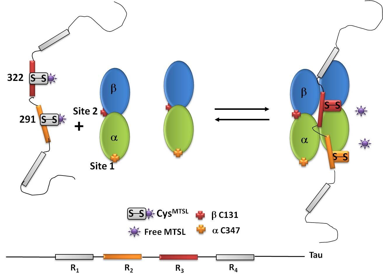 Tau protein dynamics